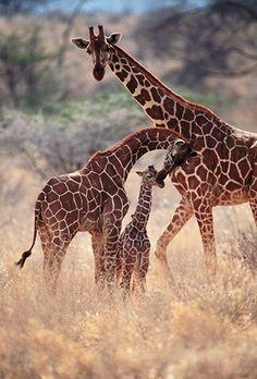 Africa    Reticulated Giraffes, Samburu National Reserve, Kenya    © Darrel Gulin