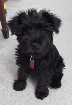 A list of the cutest black miniature schnauzer pictures. Are you in the mood to see some adorable photos of miniature schnauzers? This is a list of some of the cutest black miniature schnauzer photos. Miniature Schnauzer Black, Black Schnauzer, Miniature Schnauzer Puppies, Schnauzer Puppy, Schnauzers, Schnoodle Puppy, Bichon Frise, Animals Beautiful, Cute Animals