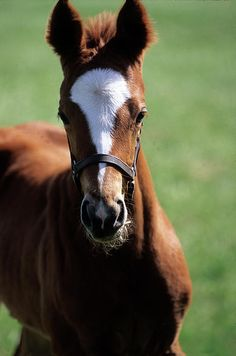 Chestnut Thoroughbred filly