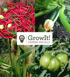 Peppers, Zucchini, Corn, and Tomatoes, Oh My! It's that time of the year when vegetables are showing off in the garden. Show everyone which veggies were your rockstars on the new app GrowIt! It's about gardening socially! Maybe even share a tip, trick, or recipe in the comments section! We can't wait to see your garden photos. Also, if some plants didn't perform, we'd like to see those ones as well! Vegetables, herbs, or flowers, we like them all!