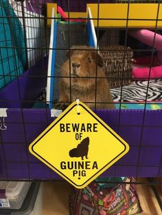 And this piggy who you better ~watch out~ for. | 26 Guinea Pigs Who Will Make You Smile The Most