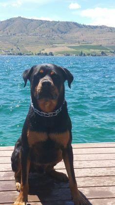 Angus the Rottweiler