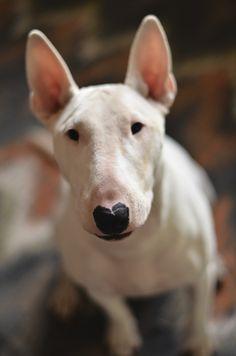Our girl dog, Bacacita. #englishbullterrier