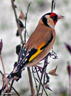 A Goldfinch finding seeds on a freeze-dried Salvia