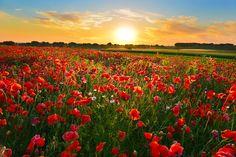 """Poppies"" #poppy field in summer countryside"