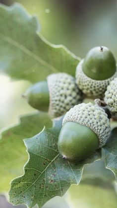 acorns, leaves, branch, fruit wallpaper and desktop background 103280 Acorn And Oak, Oak Leaves, Green Nature, Arte Floral, Oak Tree, Color Of Life, Nature Wallpaper, Pine Cones, Belle Photo