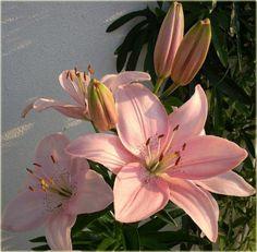 Image result for lilia