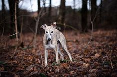 Instagram media by like_a_whippet - Mein kleiner Schatz ❤️🐾 #whippetofinstagram #whippetphotography #whippet #whippetlife #whippetlove #whippetgram #whippet_feature #instawhippet #amazing_pictures_dog #bestwoof #excellent_dogs #dogphotography #dogstagram #whippets_of_insta  #whippetcorner #dog_features #petsperfection #bestphotogram_dog #pocket_dogs #whippets_of_insta #dog_a_day #pets_of_our_world #dogument #sighthoundphotos #dogportrait #photooftheday #dog #dogs #dogsofinstagram…