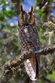 Birds of Prey - Long Eared Owl in Pinnacles National Park, California.