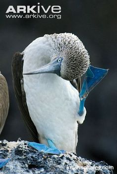 Blue-footed-booby-scratching-head.jpg 348×520 pixels