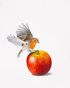 ARTFINDER: Robin on apple by Mike Skidmore - Robin flying to land on an apple