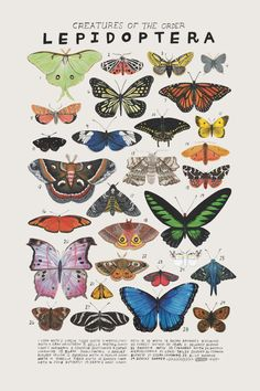 """Creatures of the order Lepidoptera,"" Art print of an illustration by Kelsey Oseid. This poster chronicles 29 beautiful butterflies, moths, and skippers from the taxonomic order Lepidoptera. Printed in Minneapolis on acid free 80 Posters Vintage, Vintage Art Prints, Vintage Geïnspireerde, Wall Collage, Wall Art, Vintage Inspiriert, Photocollage, Beautiful Butterflies, Types Of Butterflies"