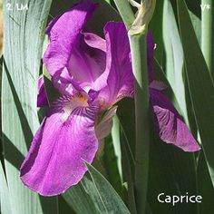 Caprice | Historic Iris Preservation Society