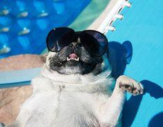 Relaxing pug