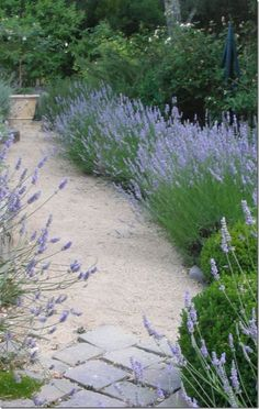 I love a lavender-lined path – Growing Lavender Gardening - Growing Plants at Home Outdoor, Plants, Beautiful Gardens, Landscape, Lavender Garden, Outdoor Gardens, Garden Paths, Front Yard Garden, Cottage Garden