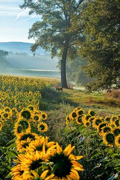 Sunflower fields in the Country. Happy Flowers, Wild Flowers, Beautiful Flowers, Sun Flowers, Beautiful World, Beautiful Places, Beautiful Pictures, Foto Nature, Sunflowers And Daisies