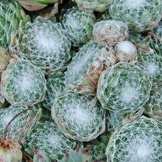 400 graines-Hardy vivace Heuchera sangiunea Bressingham Hybrides