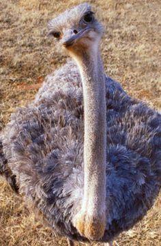 When ostriches have senior pictures. Cute Wild Animals, Funny Animals, Bird Pictures, Animal Pictures, Senior Pictures, Creature Picture, Funny Pigs, Flightless Bird, Post Animal
