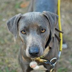 blue lacy dog photo | The intense stare of a Blue Lacy before turning out for a hunt. Photo ...