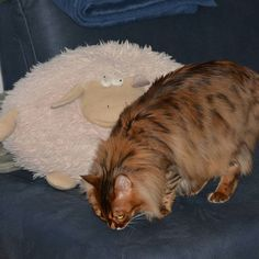Elsa: Are you left over from the last night? Does any of you miss a sheep furriends? Don't miss a post from Cute Cats And Kittens, Bengal, Sheep, Elsa, Night, Animals, Animales, Animaux, Bengal Cats