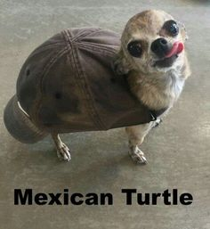Mexican turtle