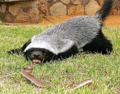 is that what I think it is??  yes, it's the honey badger!!
