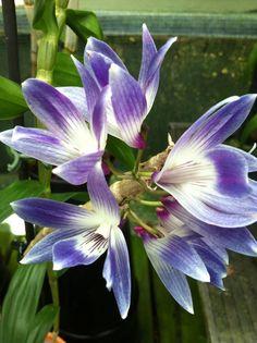 Amazing blue coloured Dendrobium victoria-reginae