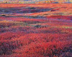blueberry field, Maine