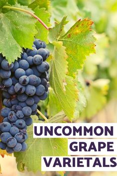Peculiar grape varieties create the foundation for many fabulous creations. Let's have a look beyond the common and usual grapes and dive into some of the oddball grapes which are paving their way on wine lists. White Wine Grapes, Red Wine, Does Wine Go Bad, Veal Stew, Lamb Meatballs, Buy Wine Online, Tropical Fruits, Wine List, Red Berries