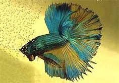 Veil Tail Betta Siamese Fighting Fish come in all the colors of the rainbow and are beautifully accented with graceful flowing fins! Bettas Splendens are found in homes everywhere. They are kept
