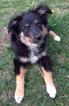Mini Aussie tri color...looks kind of like our Earl...just needs heart shapes around his eyes. :-)