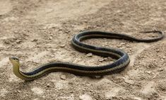 The eastern garter #snake is a common terrestrial snake and is July's Critter of the Month! Have YOU ever seen one?