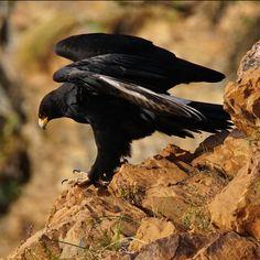 Verreaux Black Eagle l Photograph by Shane Wilken Feathered Dinosaurs, National Botanical Gardens, Common Kingfisher, Black Eagle, Interesting Animals, Domestic Cat, Underwater World, Birds Of Prey, Raptors