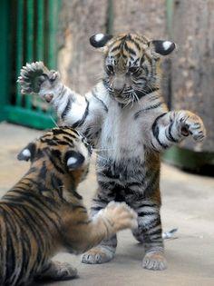 Sumatran cubs ~j
