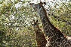 Giraffes near Eden Safari Country House Giraffes, Safari, Country, House, Animals, Animales, Rural Area, Home, Animaux