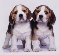 Beagles -- uh oh... TWO #beagle puppies. Double the trouble but also double the CUTE!