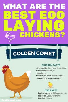What are some things you need to consider before Making a Correct Chicken-Choice? Here are the BEST Egg-Laying Chickens. Best Chickens For Eggs, Best Egg Laying Chickens, Types Of Chickens, Keeping Chickens, Raising Chickens, Baby Chickens, Small Chicken, Fresh Chicken, Chicken Eggs