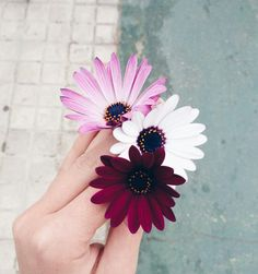 flores discovered by Paty Hinojo on We Heart It My Flower, Beautiful Flowers, Beautiful Images, Art Amour, Daisy, Plants Are Friends, No Rain, Planting Flowers, Flowers Garden