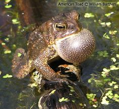 WI toad & frog survey