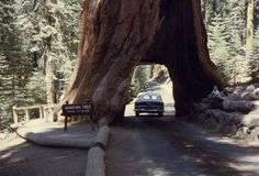 to see a giant redwood