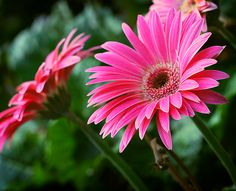 Need information on gerbera daisy care? We've got you covered with gardening tips on how to care for gerbera daisies in your home & landscape. Gerbera Daisy Care, Pink Gerbera, Gerber Daisies, Love Flowers, My Flower, Beautiful Flowers, Lawn And Garden, Home And Garden, Air Filtering Plants