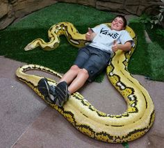 Juliet, The Reticulated Python At Prehistoricpets- A Citron Platinum Het Titanium Morph Animals And Pets, Funny Animals, Cute Animals, Reptiles And Amphibians, Mammals, Anaconda, Python Royal, Reticulated Python, Types Of Snake