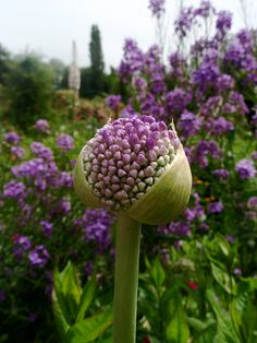 Purple blooms in Monet's garden Giverny, France. #allium