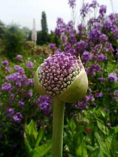 Purple blooms in Monet's garden