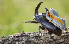 Hendy Mp, a talented wildlife photographer based in Indonesia, has captured what is probably one of the weirdest spectacles we've ever seen – a tree frog going for a wild rodeo ride on the back of a giant horned wood-boring beetle. The tree frog is a Reinwardt's Flying Frog, a threatened species that can glide down from trees with the skin between its fingers and toes.