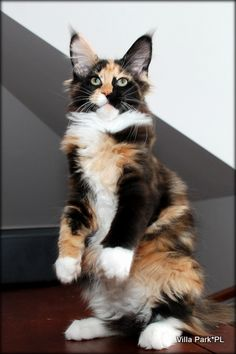 Maine Coon kitten ~ Beauty……THAT'S WHAT I AM……A BEAUTY…….  WHAT ARE YOU????SOME MAY CALL ME CALICO AND OTHERS MAY CALL ME TORTOISESHELL…….WHATEVER - I'M STILL A -- BEAUT --   ………….ccp