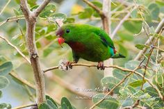 Philippine_Hanging-Parrot (Loriculus philippensis) by Yann_Muzika