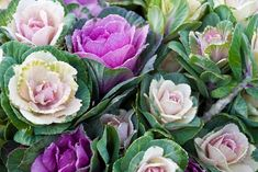 How to Grow Ornamental Cabbage and Flowering Kale Ornamental cabbage and flowering kale (Brassica oleracea) have been bred for looks, not flavor. Grow these colorful annuals through the cool season. Kale Plant, Cabbage Plant, Cabbage Flowers, Flowering Kale, Low Growing Shrubs, Deer Resistant Perennials, Ornamental Cabbage, Fall Containers, Succulent Containers