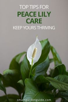 Everythng you need to know about Peace Lily care. Learn to know what your Peace Lily needs just by looking at it, so you can avoid the most common houseplant problems before they arrive. Peace Lilies make wonderful houseplants, with their beautiful foliage and blooms, and they aren't too difficult to keep happy.