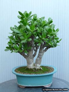 Jade Plant Bonsai, Jade Plants, Bonsai Art, Bonsai Plants, Bonsai Garden, Planting Succulents, Jade Succulent, Succulent Tree, Crassula